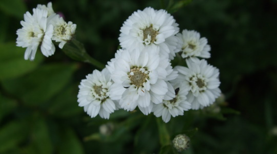 Achillea ptarmica The Pearl Group