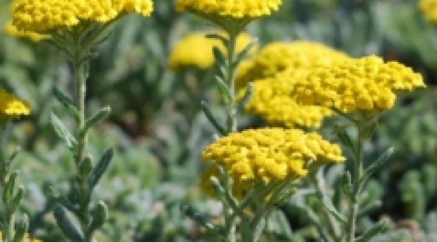 Achillea tomentosa 'Aurea'