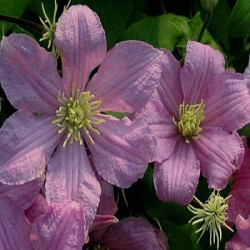 Clematis 'Countess de Bouchaud'