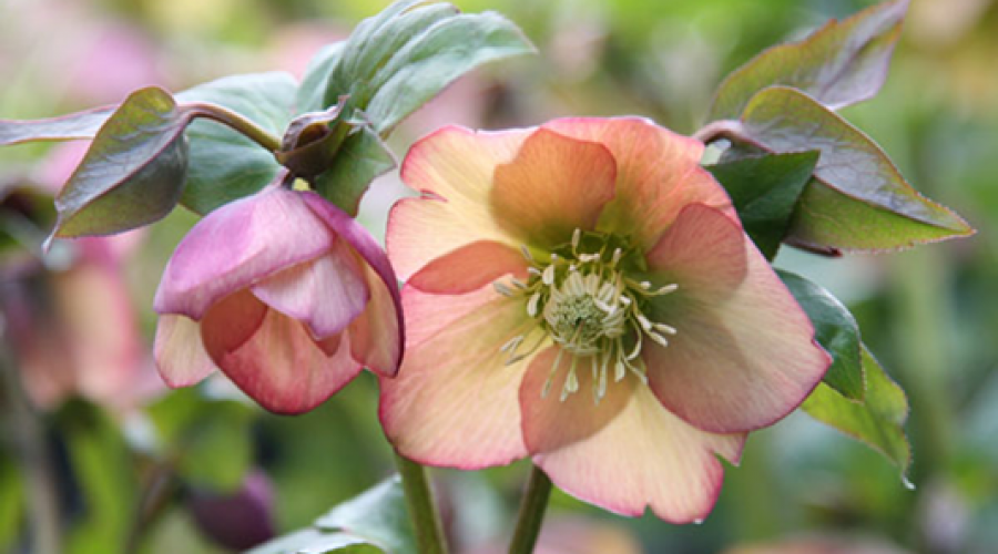 Harvington Hellebore Apricot