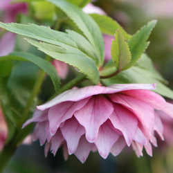 Harvington Hellebore Double Pink
