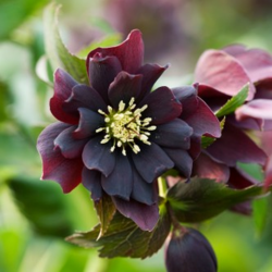 Harvington Hellebore Double Purple Cascade