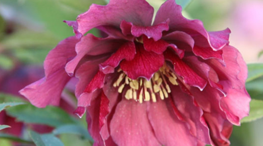 Harvington Hellebore Double Red
