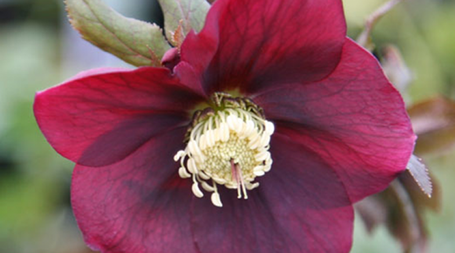 Harvington Hellebore Red