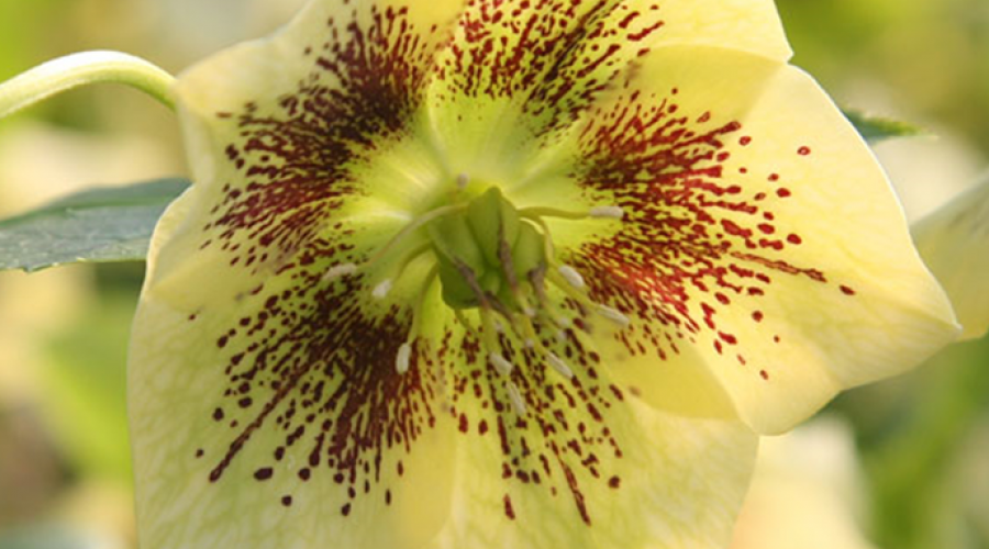 Harvington Hellebore Speckled Yellow