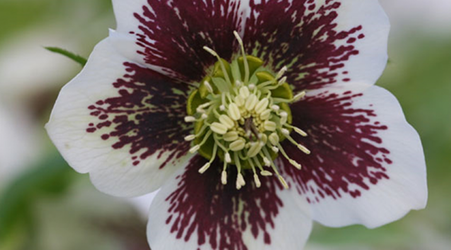 Harvington Hellebore White Speckled