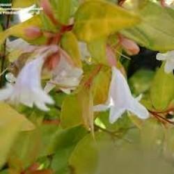 Abelia Grandiflora Goldsport