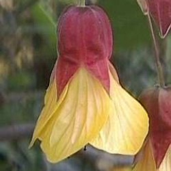 Abutilon Kentish Belle