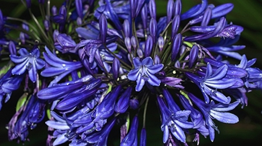 Agapanthus Midnight Cascade