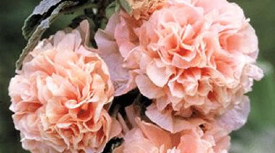 Alcea Rosea Chaters Double Chamois