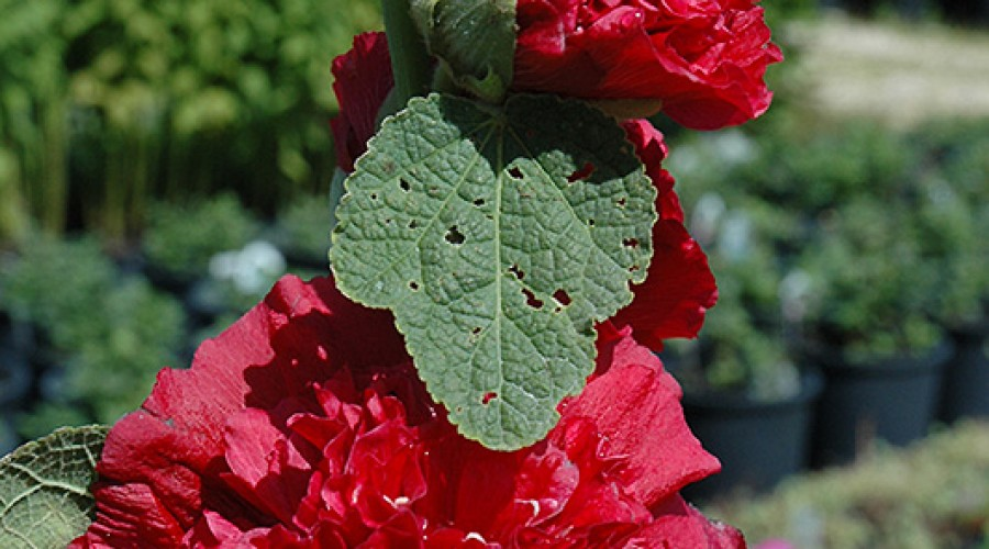 Alcea Rosea Chaters Double Red