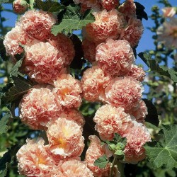 Alcea Rosea 'Chaters Double Pink