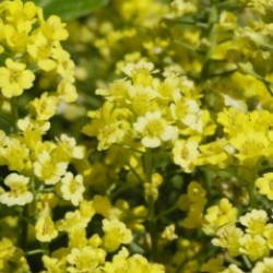 Alyssum Montanum Mountain Gold