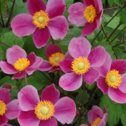 Anemone Hupehensis Japonica Splendens