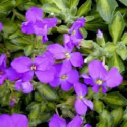 Aubrieta Somerford Lime
