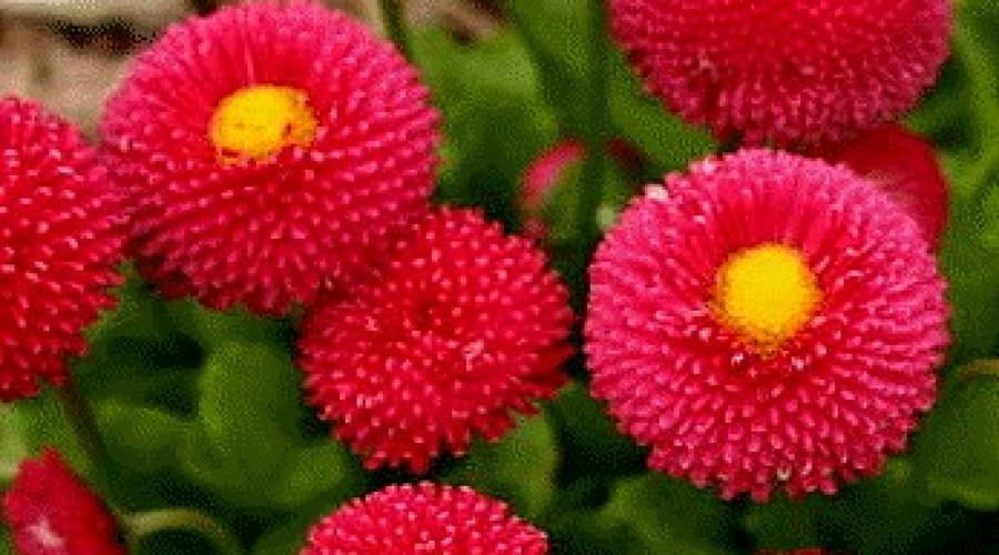 Bellis Perennis Red