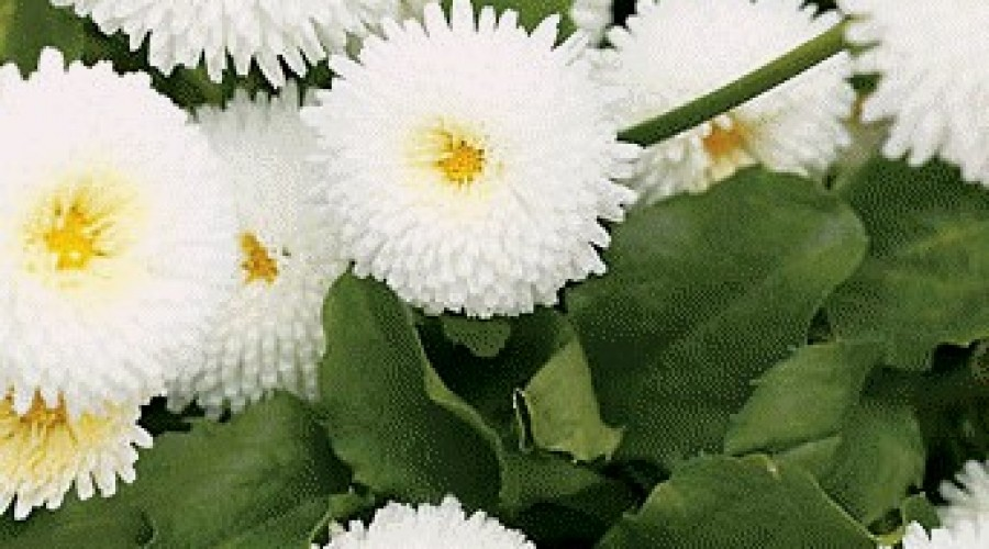 Bellis Perennis White