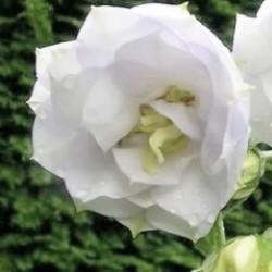 Campanula Persicifolia La Bello Blanche