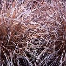 Carex Comans Bronze