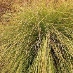 Carex Flagellifera Bronze