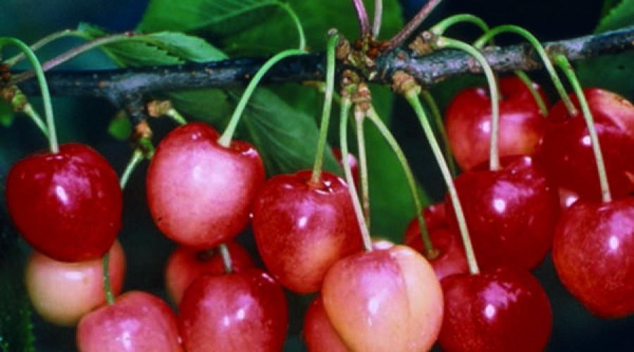Prunus Avium Merton Glory Cherry