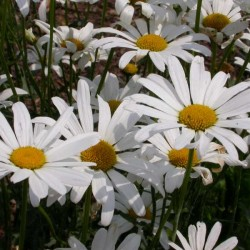 Chysanthemum vulgare May Queen