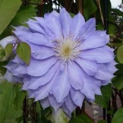 Clematis Dennys Double