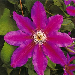 Clematis 'Fireworks'
