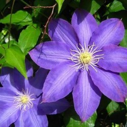 Clematis H F Young