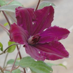 Clematis Honora