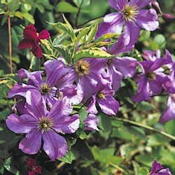Clematis  Viticella Prince Charles
