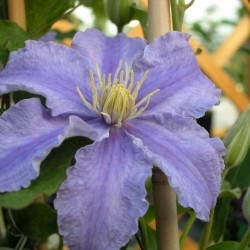 Clematis Frederyk Chopin