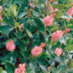 Clethra Alnifolia Rosea