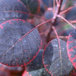 Cotinus Royal Purple