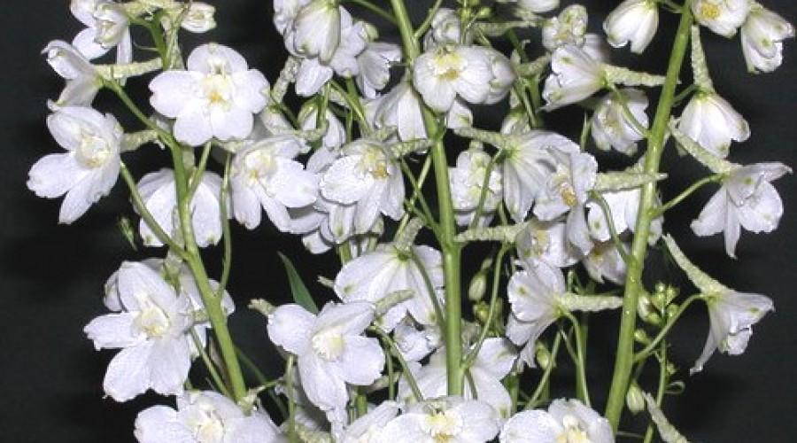 Delphinium Belladonna Cassa Blanca