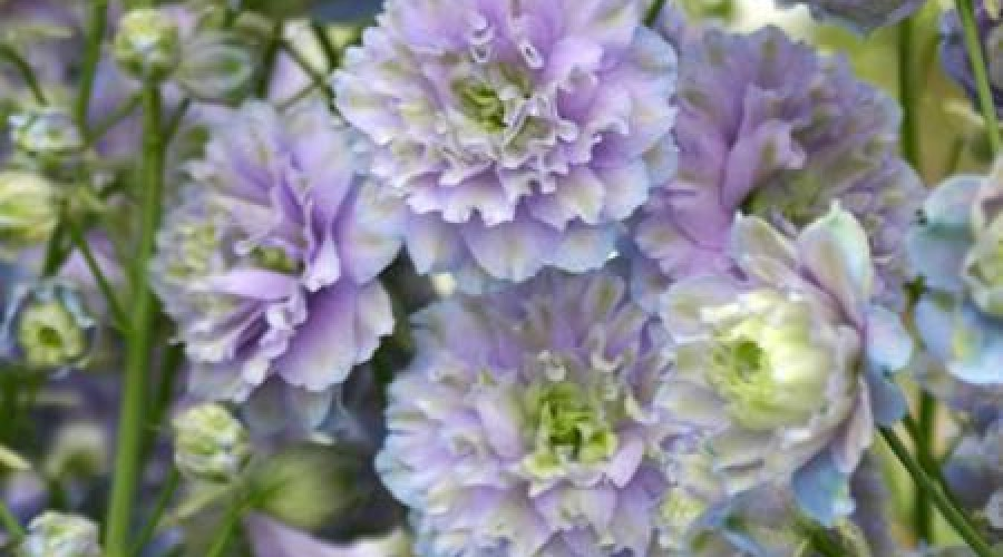 Delphinium Highlander Moonlight