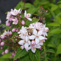 Deutzia Mont Rose
