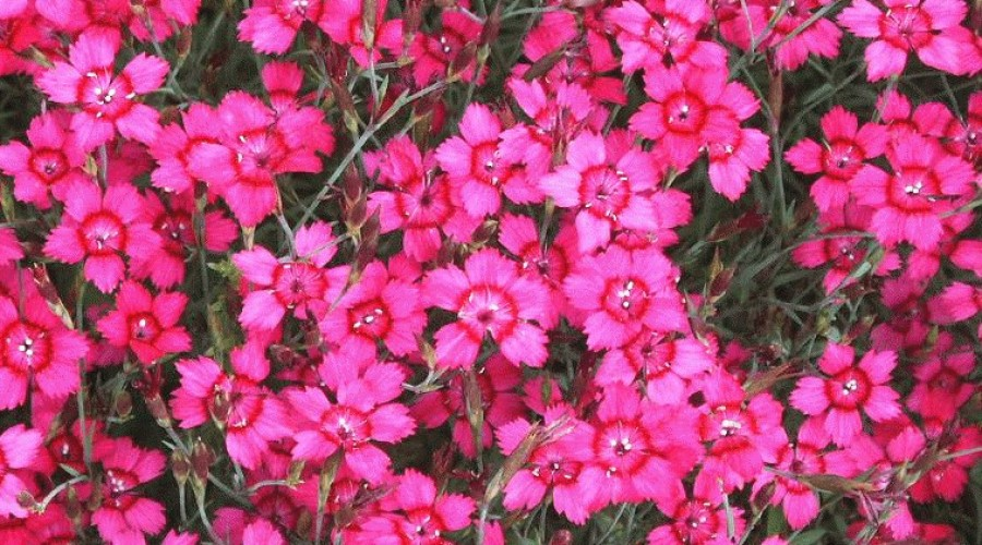 Dianthus Deltoides Brilliant