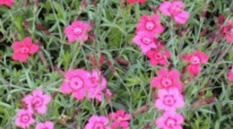 Dianthus Deltoides Erecta