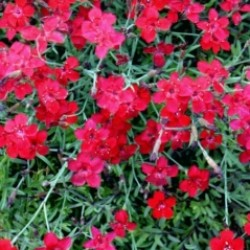 Dianthus Deltoides Flashing Light