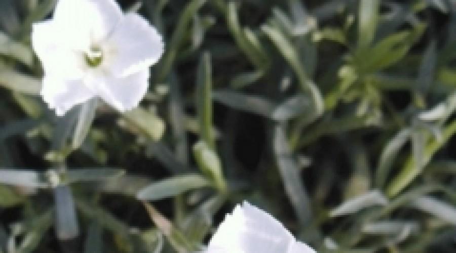 Dianthus Dewdrop