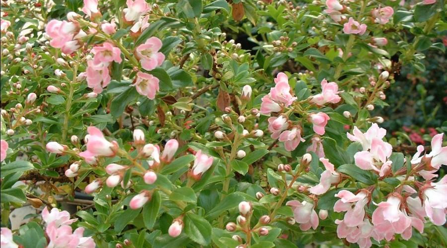 Escallonia Peach Blossom