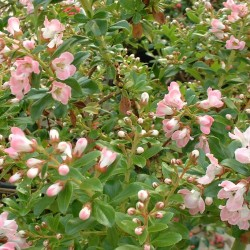 Escallonia Peach Blossom