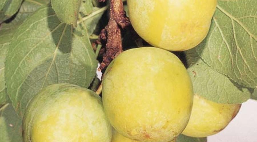 Prunus Domestica Oulins Gage