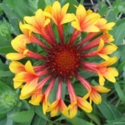 Gaillardia X Grandiflora Fanfare