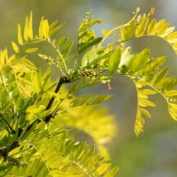 Gleditsia Tricanthos Sunburst