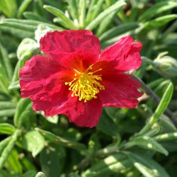 Helianthemum Supreme