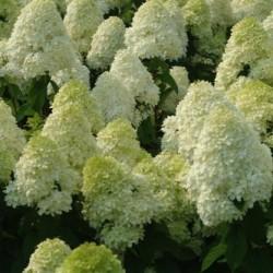 Hydrangea Arborescens Limelight