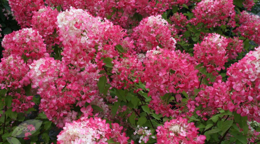 Hydrangea Paniculata Diamont Rouge