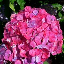 Hydrangea Preziosa